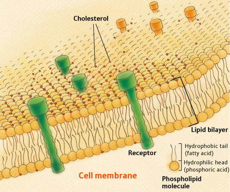 lipid_bilayer.jpg