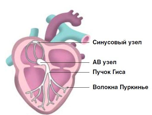 Киса-Фляка узел. и местом впадения верхней полой вены; начальная часть проводящей системы сердца, содержащая у...